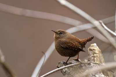 soku_36723.jpg :: 動物 鳥 野鳥 自然の鳥 ミソサザイ