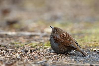 soku_36724.jpg :: 動物 鳥 野鳥 自然の鳥 カヤクグリ